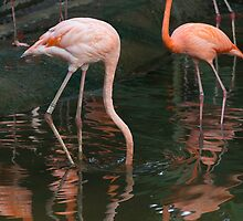 A Flamingo with its head under water in the Jurong Bird Park in Singapore by ashishagarwal74