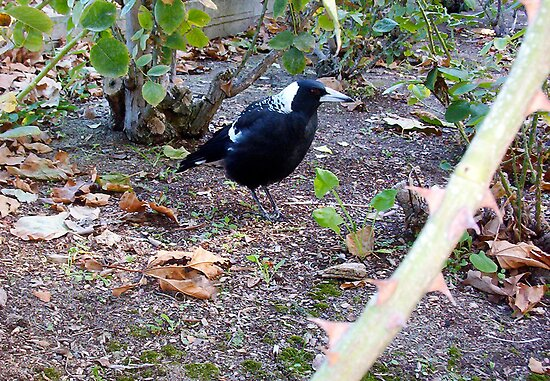 Vaguely A Fat But Brave Magpie Protecting His Kin by Robert Phillips