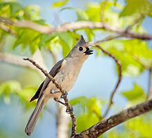 Tufted Titmouse in the Treetops by Bonnie T.  Barry
