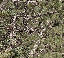 Essay - 5 A Gray Jay stops by by maksoden