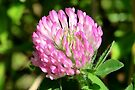 Red Clover by Kathleen Daley