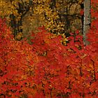 Fall Leaves and birch by Karl  Zielke