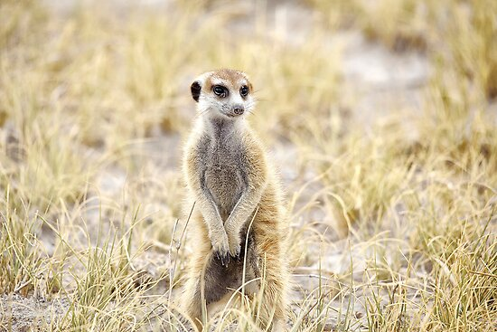 Meerkat. by Lyn Darlington