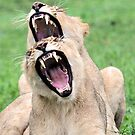 A double yawn! by jozi1