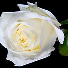 white rose on black by unit8