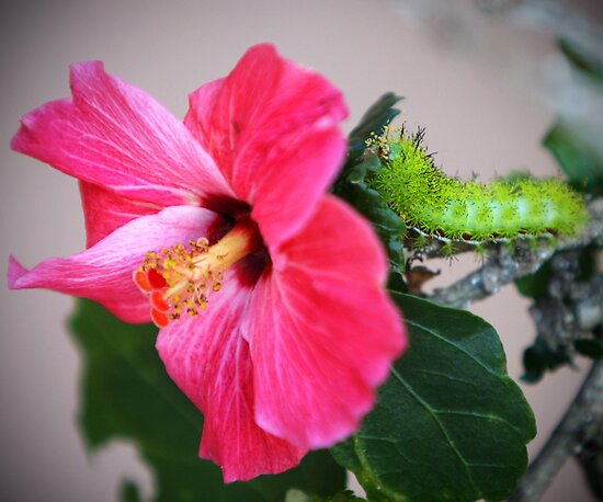 Hibiscus & Caterpillar by studio2eight
