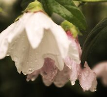 holly hocks in the rain (2) by CecilysSong