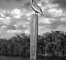 Everglades Pelican 2013 by Timothy Lowry