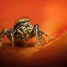 Phlegra fasciata female jumping spider macro by Mario Cehulic