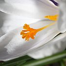 White Crocus Macro by Astrid Ewing Photography