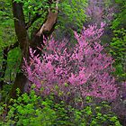 California Redbuds by Floyd Hopper