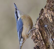 Nuthatch resting by picsl8