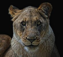 the lioness by Jo-PinX