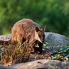 Rock Wallaby by Margot Kiesskalt