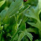 Ladybird Beetle by Colin  Ewington