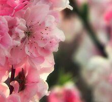 Hot Pink Sakura by mikeofthethomas