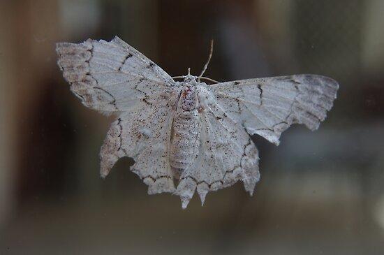 Albino Moth.... by clay2510