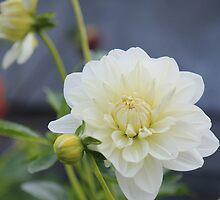dahlia - from Gunns Plains by gaylene