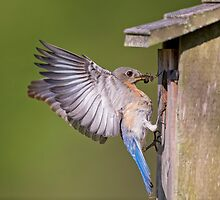 Bluebird at the Nesting Box by Bonnie T.  Barry
