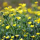 Wild Buttercups by Ruth Lambert