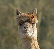 Alpaca Full Face with Leaf by Sue Robinson
