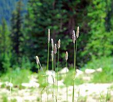 Berthoud Pass Tall Grass  by Robert Meyers-Lussier