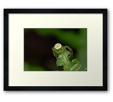 Redspotted Orbweaver  Framed Print