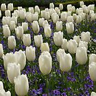 Sea of Tulips  by AmishElectricCo