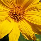 Sunflower & Shadows  by ZWC Photography