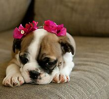 Bulldog puppy by ClaudineCook