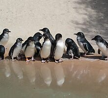 Fairy Penguin n Reflection by Sally Haldane