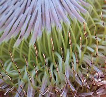 King Protea Close-up by ec-photography