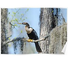 Anhinga Perched with Spanish Moss Poster