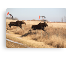 Young moose leaping over barbed wire fence Canvas Print