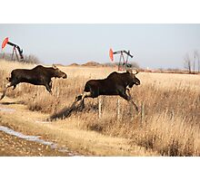 Young moose leaping over barbed wire fence Photographic Print