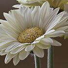 White Gerbera  by DIANE  FIFIELD
