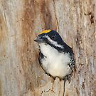 Black-backed Woodpecker Nest?? by Daniel Cadieux