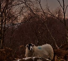 Hill Sheep 3 , England by skid