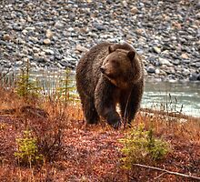 Kootenay Grizzly by JamesA1