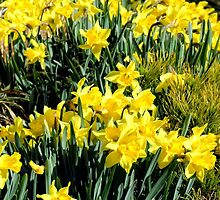 Daffodils Galore by Sharon Woerner