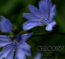 CHICORY by vigor