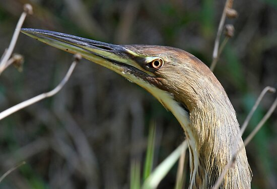 An american bittern profile by jozi1