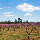South Carolina Peaches by Otto Danby II