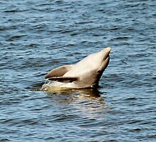 Dolphin Clapping  by Cynthia48