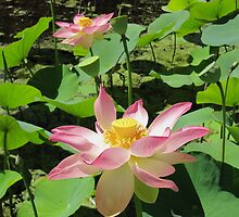 Beautiful Lotus Flower, Botanic Gardens. Adelaide, Sth. Aust. by Rita Blom