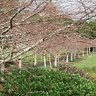 Auckland's winter cherry blossoms by StuartAJohn