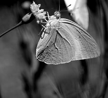 Butterfly in black and white by Antionette