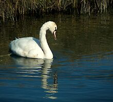...became a beautiful young swan... by steppeland