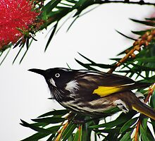 The Honey Eater by hurky