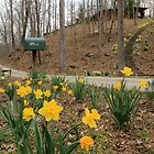 Country Daffodils by Lynn Gedeon